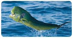 cabo-marlin
